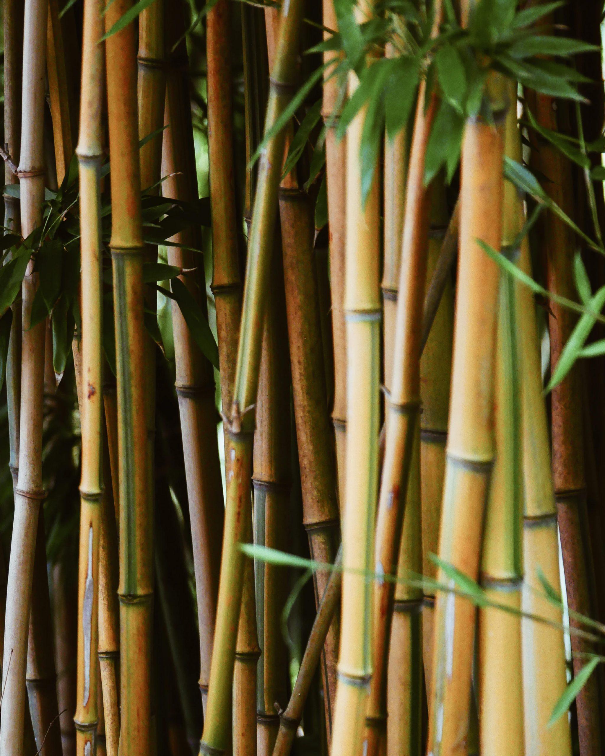 Lees meer over het artikel bamboe: het groeit als kool!